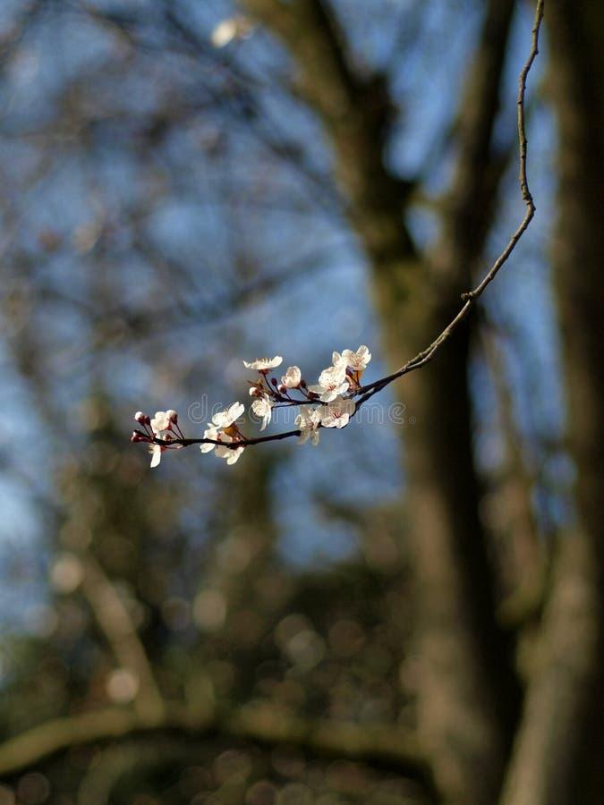 Cherry Tree Blossom fotografie stock libere da diritti