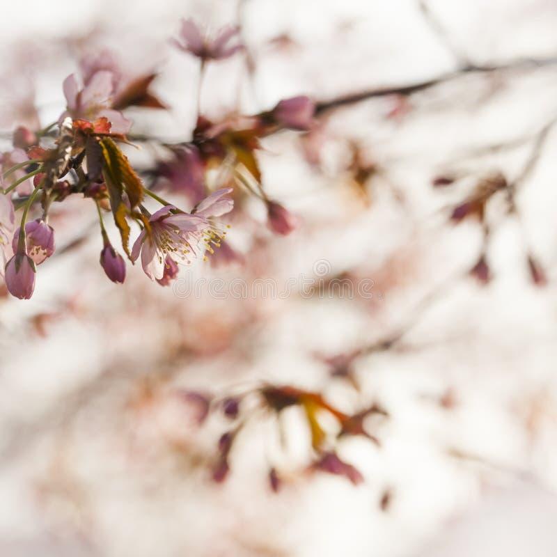 Cherry Tree Blossom royalty-vrije stock afbeelding
