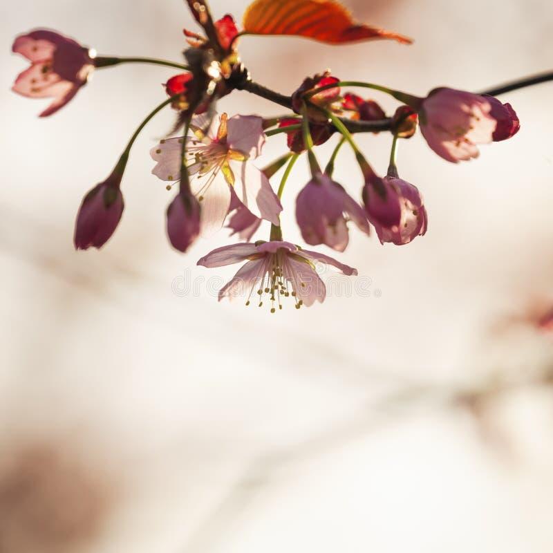 Cherry Tree Blossom stock afbeelding