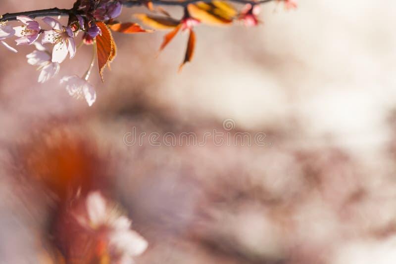 Cherry Tree Blossom royalty-vrije stock foto