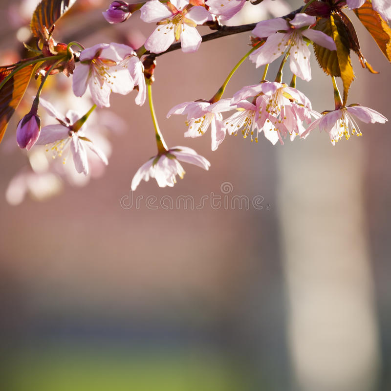 Cherry Tree Blossom stock fotografie
