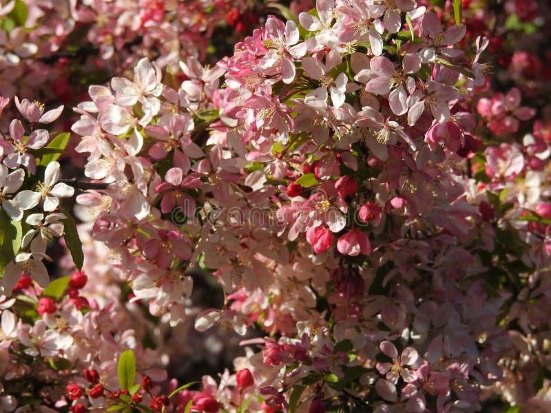 Cherry Tree Blossom royalty-vrije stock foto's
