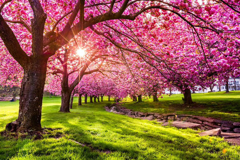 Cherry tree blossom. Explosion in Hurd Park, Dover, New Jersey royalty free stock photography