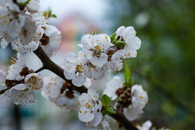 Cherry tree blossom with raindrops. Blooming tree after the rain. White flowers in the dew in the spring. royalty free stock photos