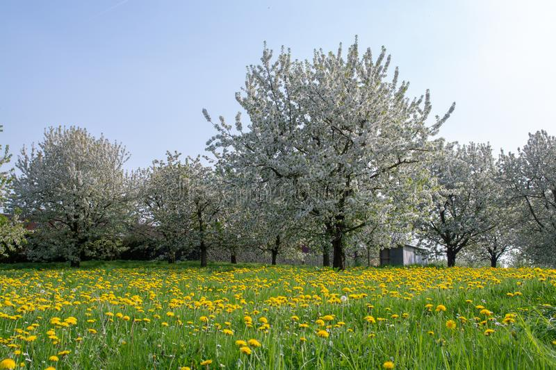 Cherry tree blossom, spring season in fruit orchards in Haspengouw agricultural region in Belgium, landscape stock photography