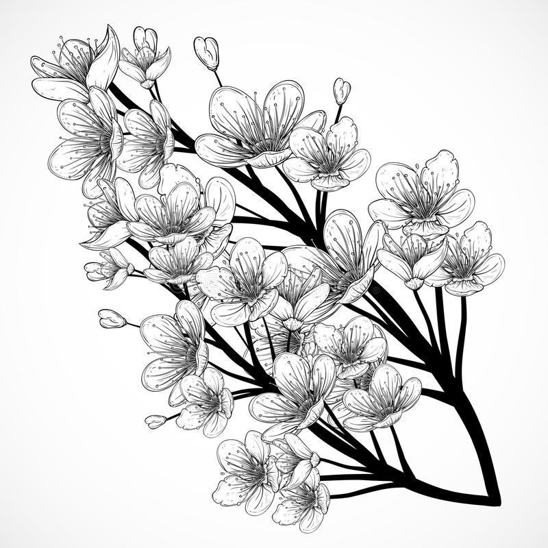 Cherry tree blossom. Vintage black and white hand drawn vector illustration in sketch style. vector illustration