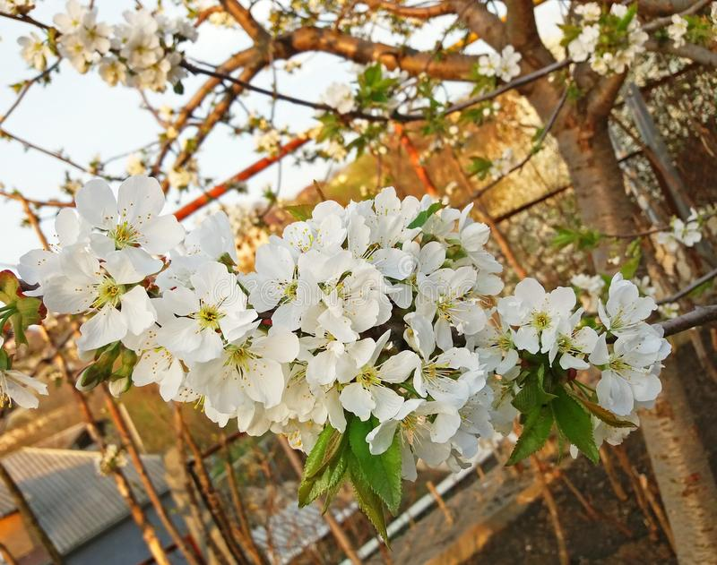 Cherry tree blossom in white very beautiful royalty free stock photography