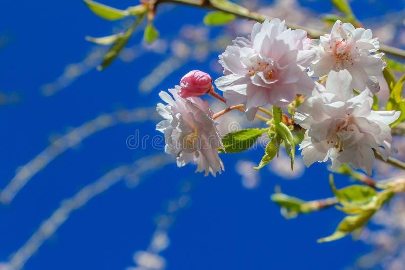 Cherry Tree Blossoms Against un ciel bleu photographie stock