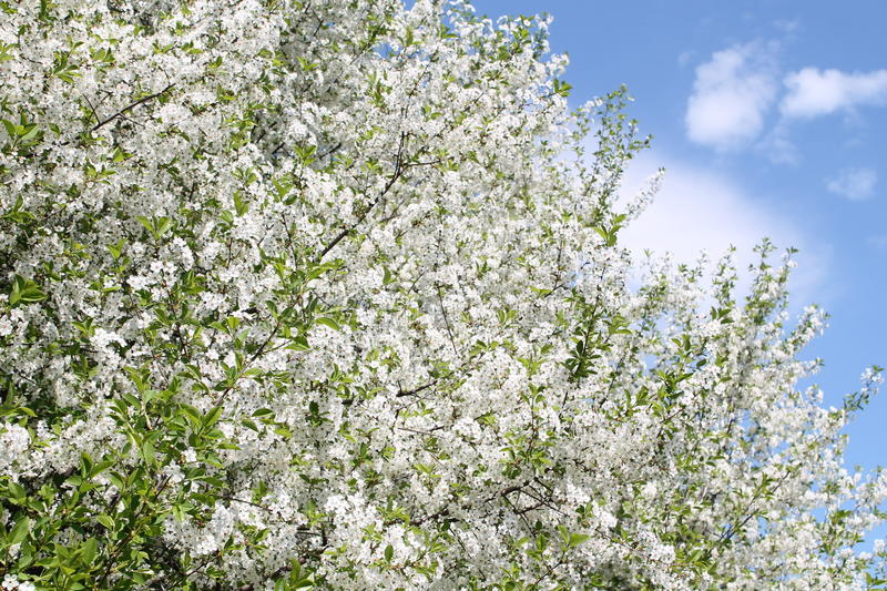 Cherry tree blossoms in may stock images