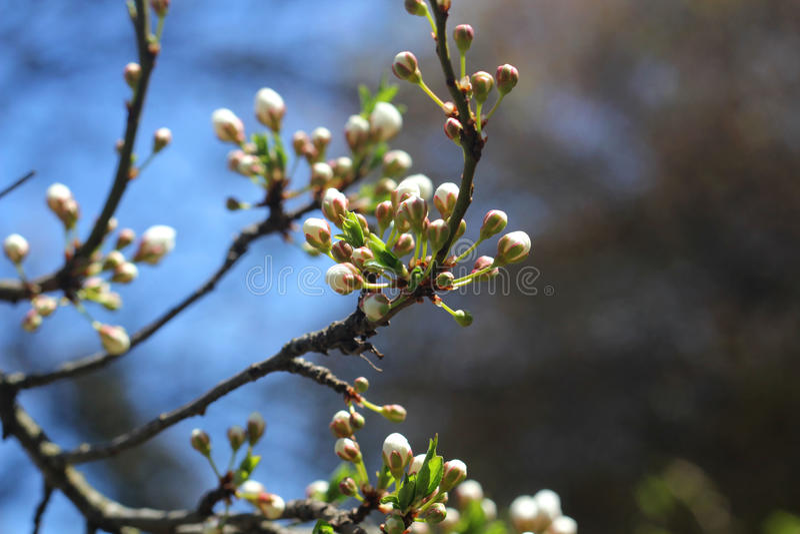 Cherry Tree Blossoms vita blommor, vår royaltyfria foton