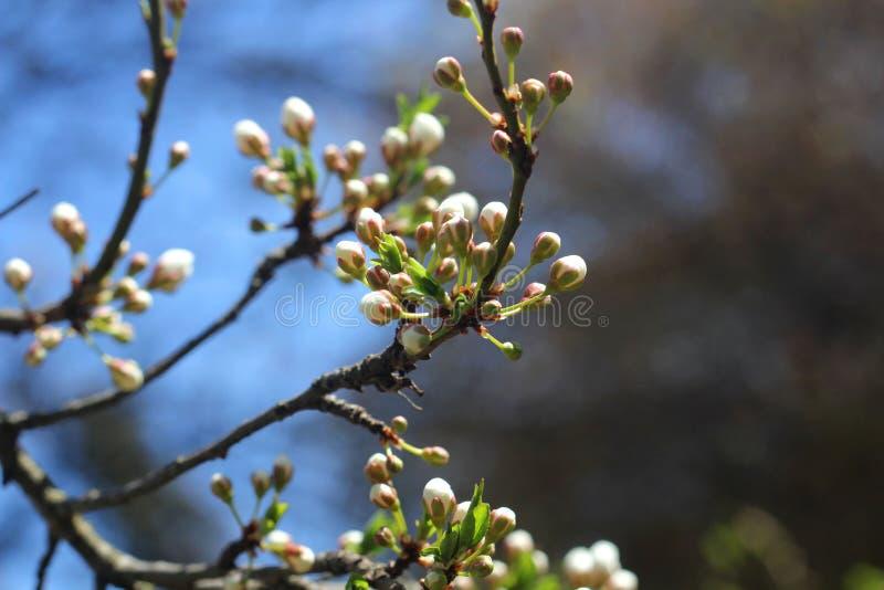 Cherry Tree Blossoms, Witte Bloemen, de Lente royalty-vrije stock foto's