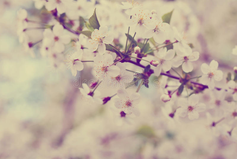 Cherry tree branch against blur background royalty free stock photos