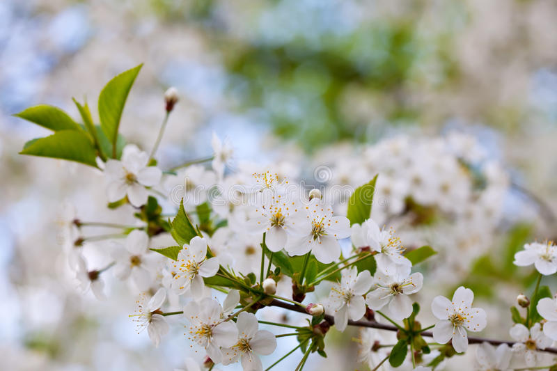 Cherry tree branch with copyspace royalty free stock photo