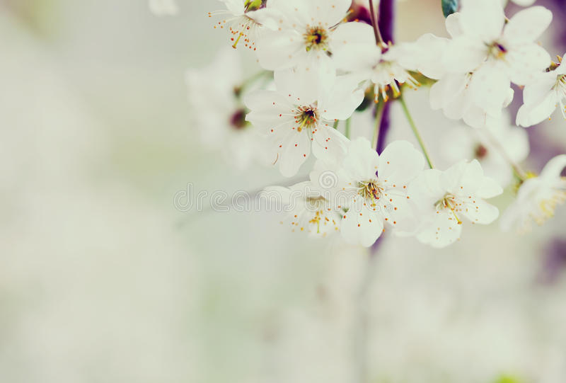 Cherry tree branch with copyspace stock photo