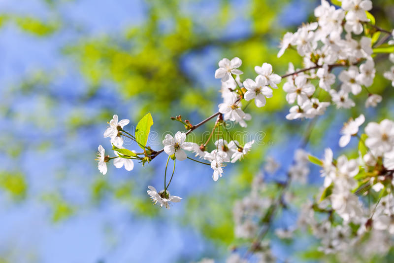 Cherry tree branch with flowers royalty free stock images