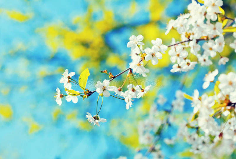 Cherry tree branch with flowers stock image