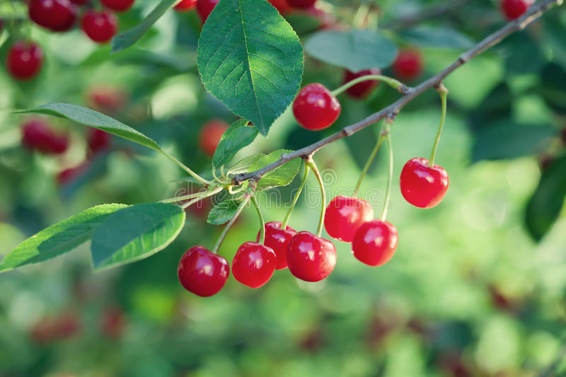 Cherry tree branch macro view. Red berry fruit plant green leaves, summer time garden background. Seleactive focus. Shallow depth field. Beautiful bokeh photo royalty free stock images
