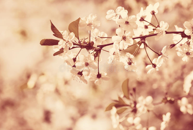 Cherry tree branch in spring royalty free stock photo