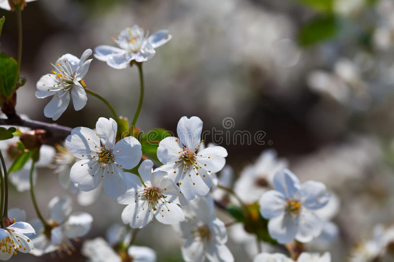 Cherry tree branch in spring royalty free stock images