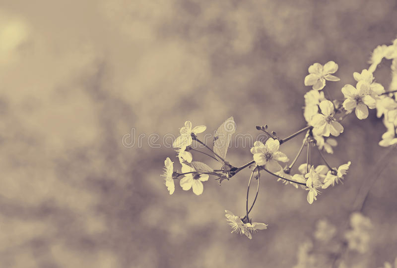 Cherry tree branch in spring royalty free stock photography