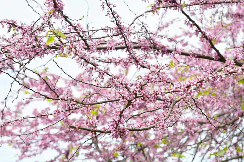 Cherry blossom in spring for background. Cherry tree branches opened with great pink flowers. Lovely spring background royalty free stock images