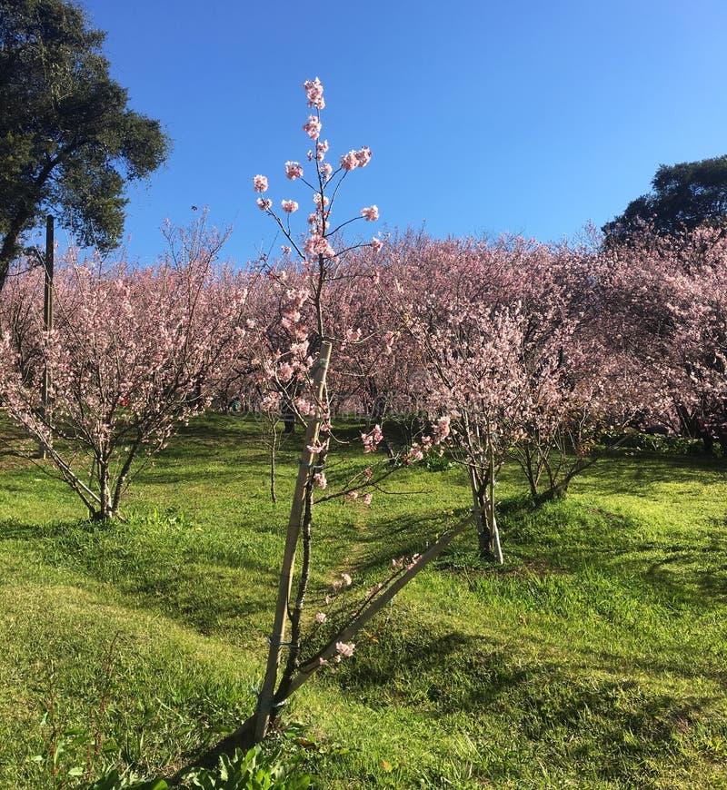 cherry tree campos do jordão stock photo