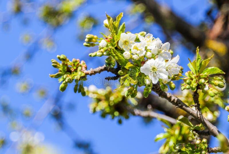 Cherry tree Cerasus stock photos