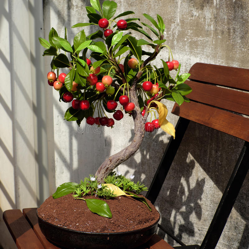 Cherry tree from clay, handmade bonsai royalty free stock images