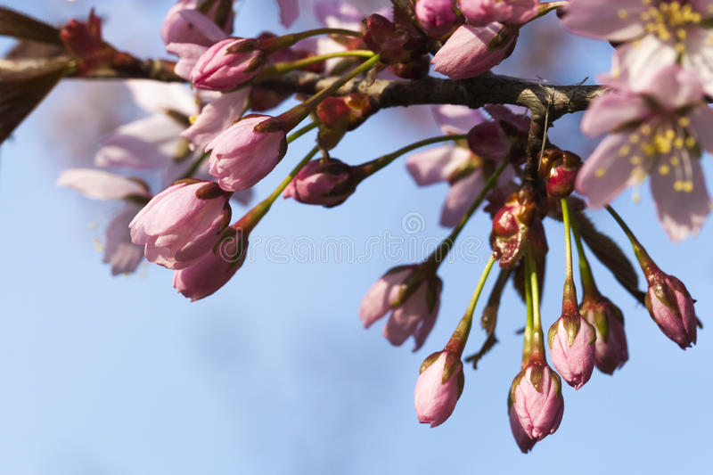 Cherry Tree Flower Buds royaltyfria bilder