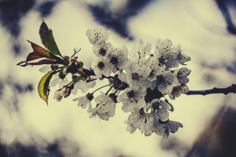 Cherry tree flower royalty free stock photo