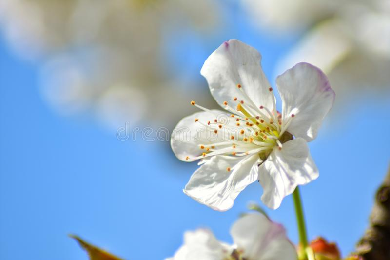 Cherry tree flower royalty free stock image