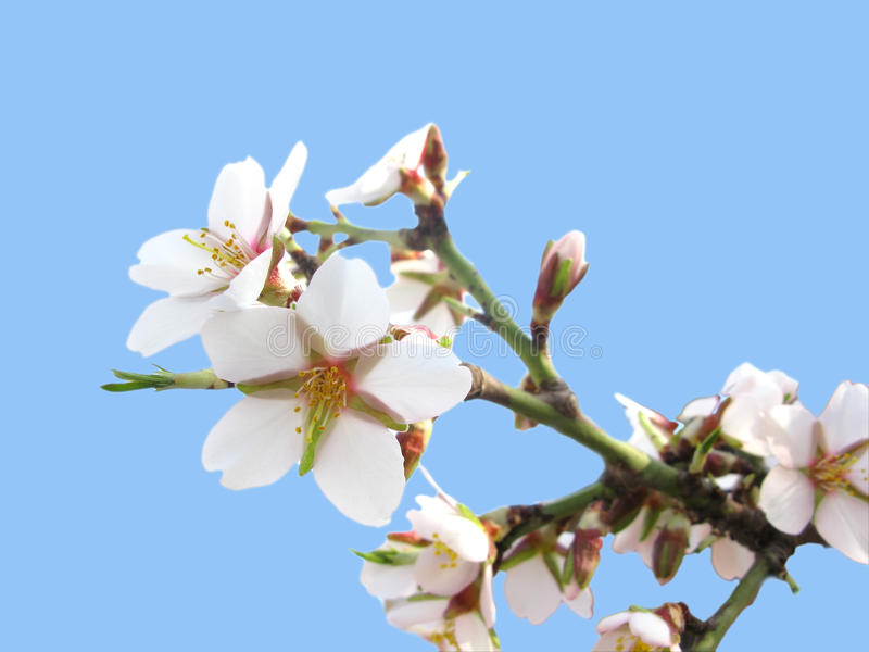 Cherry tree flowers stock photography