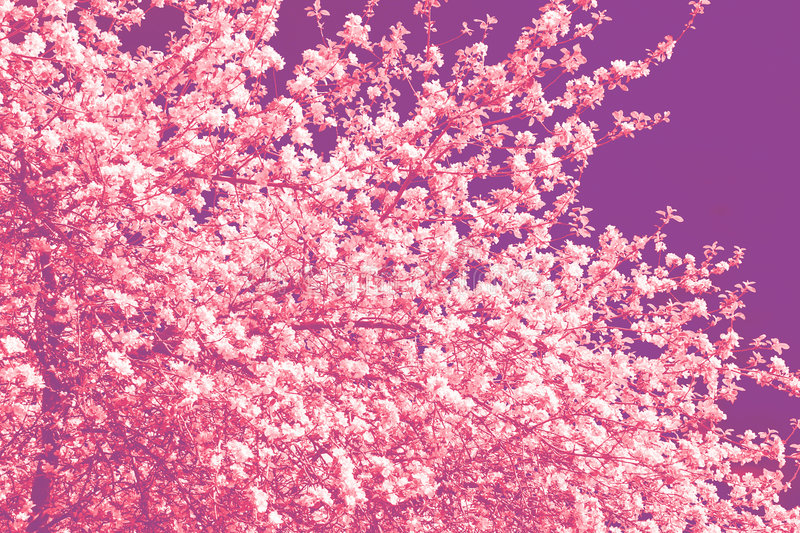 Download Cherry tree flowers stock illustration. Image of nature - 2446705