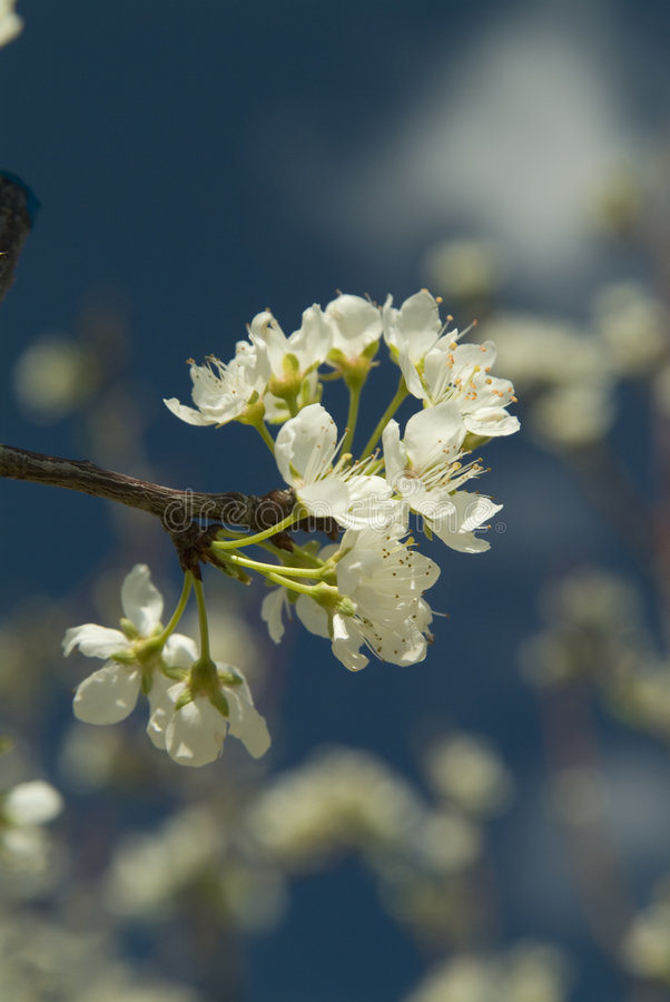 Download Cherry tree flowers stock photo. Image of tree, agriculture - 3070968