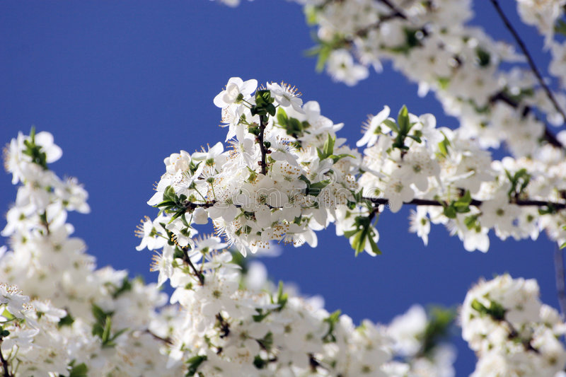 Cherry Tree flowers. Cherry-tree branch with white flowers on blue sky royalty free stock photography