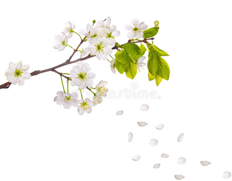 Cherry tree flowers and falling petals. Cherry-tree flowers isolated on white background royalty free stock photography