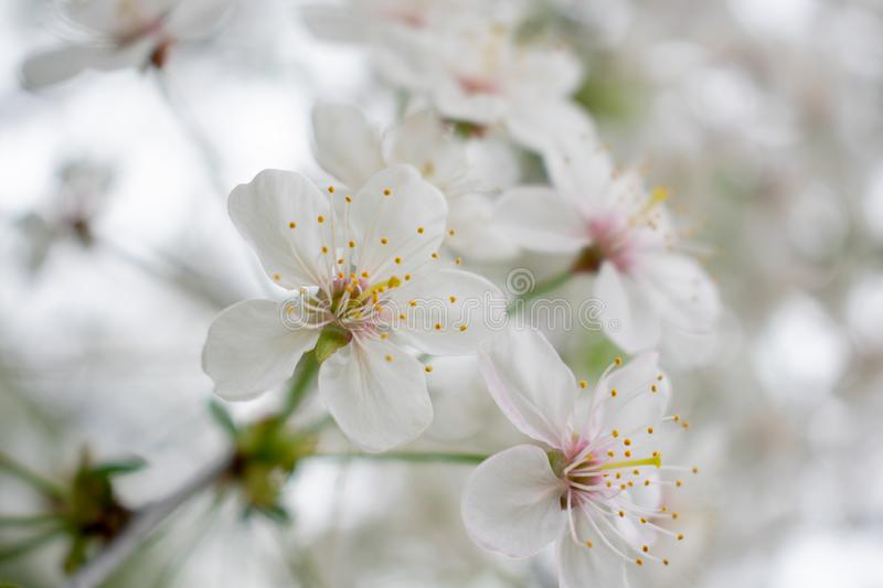 Cherry tree with flowers 2 royalty free stock photos