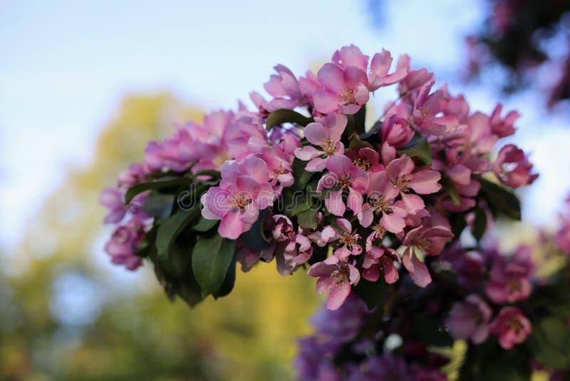 Cherry Tree Flowers rosa in un primo piano fotografie stock