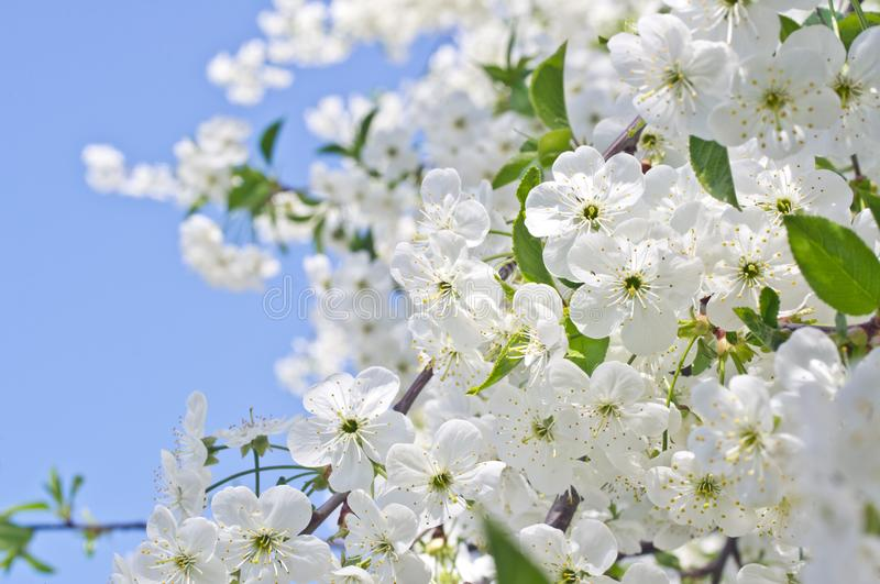 Cherry tree flowers in spring against a blue sky stock images