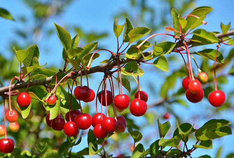 Cherry tree. Fresh cherry in tree and blue sky stock image