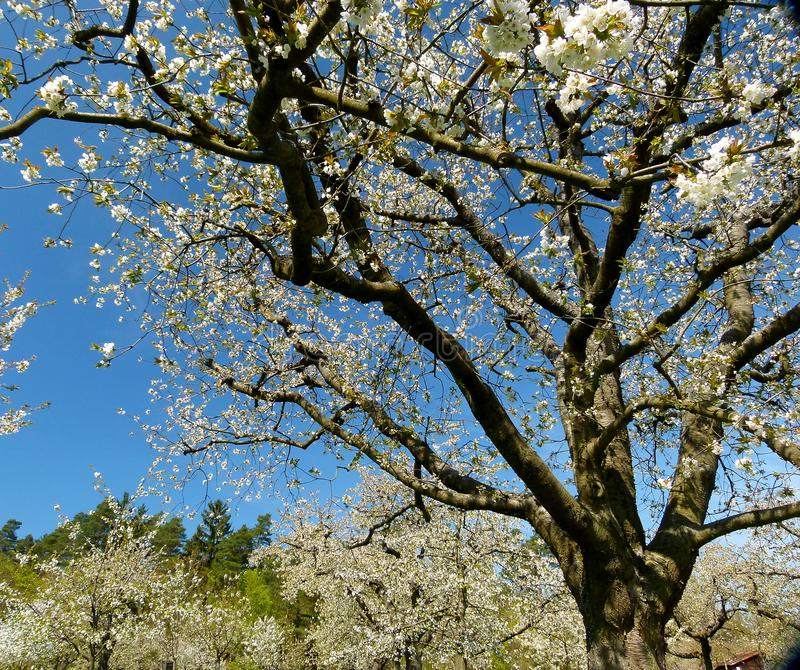 Cherry tree in full bloom against a blue sky stock images