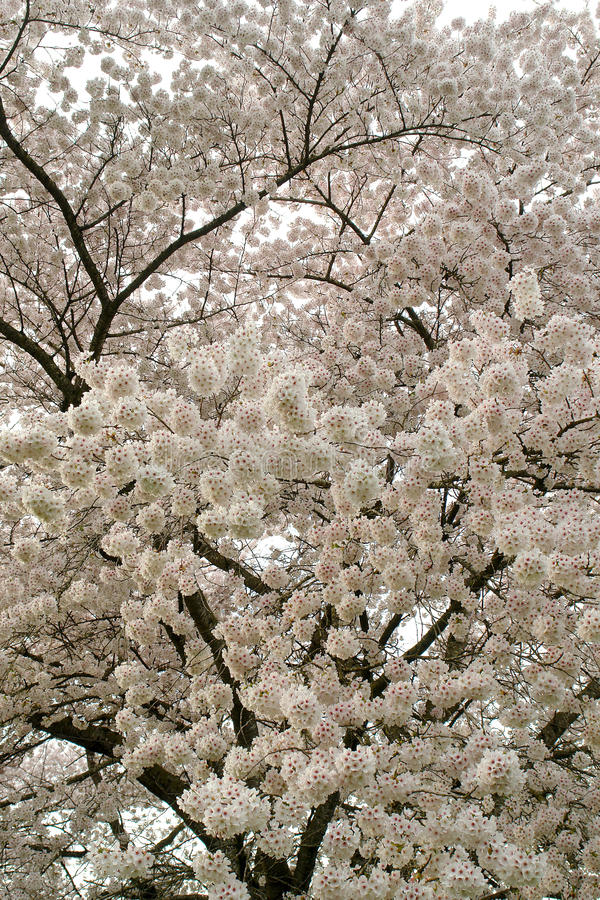 Cherry Blossoms In Spring royalty free stock images