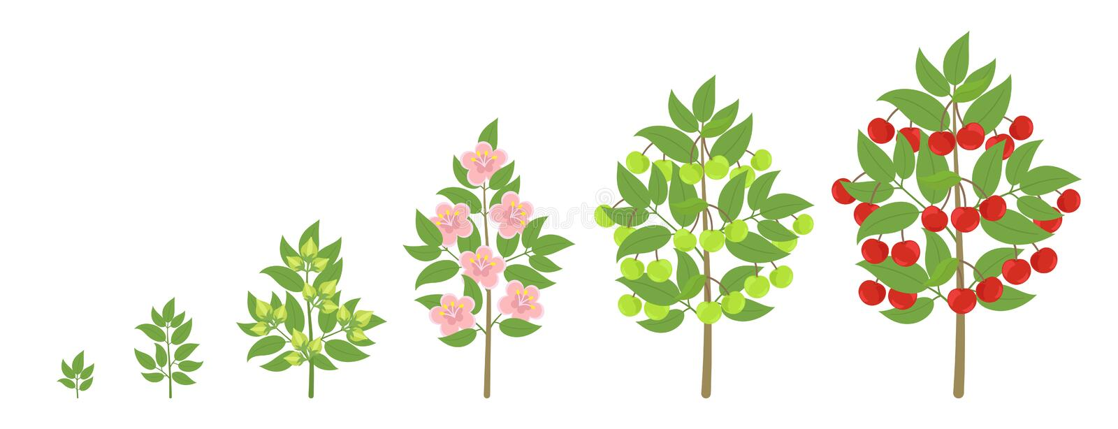 Cherry tree growth stages. Ripening period progression. Cherries fruit tree life cycle animation plant seedling. Sweet cherry. Cherry tree growth stages vector illustration
