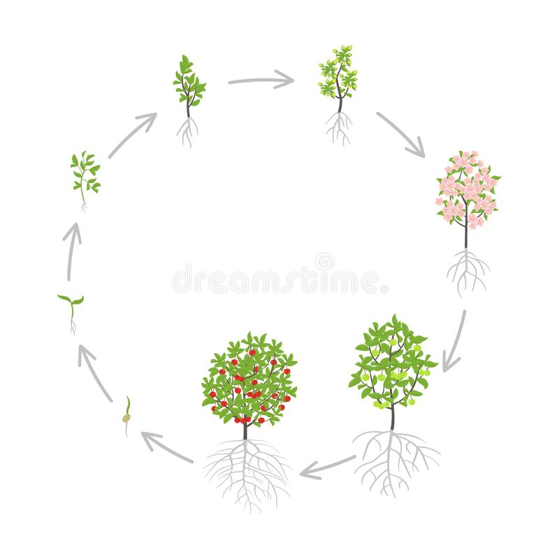 Cherry tree growth stages. Vector illustration. Ripening period progression. Cherries fruit tree life cycle animation plant. Cherry tree growth stages. Ripening stock illustration