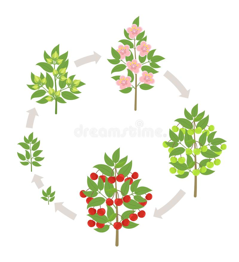 Cherry tree growth stages. Vector illustration. Ripening period progression. Cherries fruit tree life cycle animation. Cherry tree growth stages. Ripening period royalty free illustration