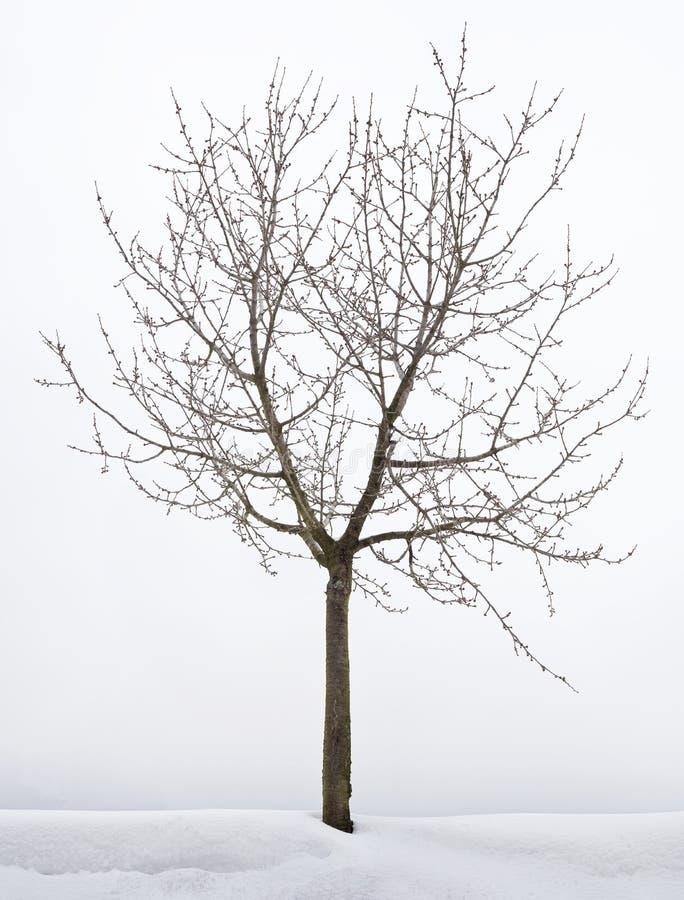 Cherry Tree Hibernation fotografia stock