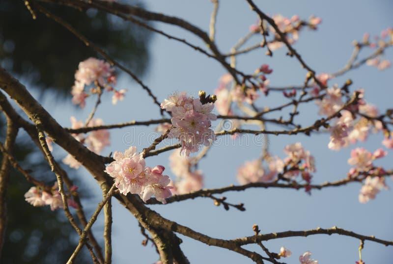 Cherry Tree im Park lizenzfreie stockbilder