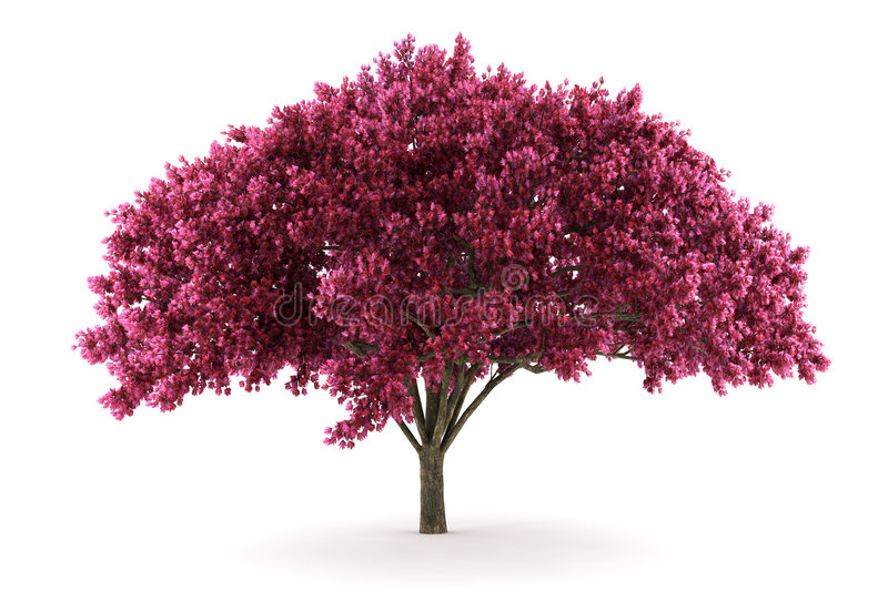 Cherry tree isolated on white background vector illustration