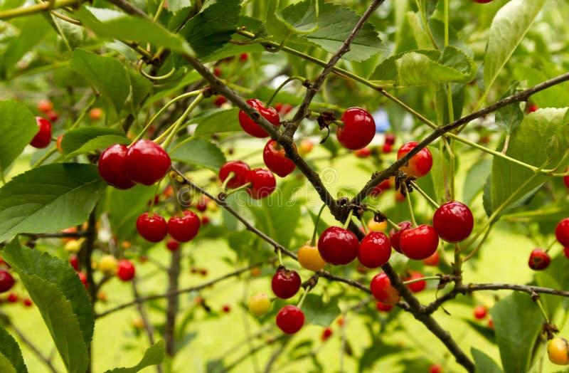 Cherry Tree With Lots Of körsbär arkivfoto