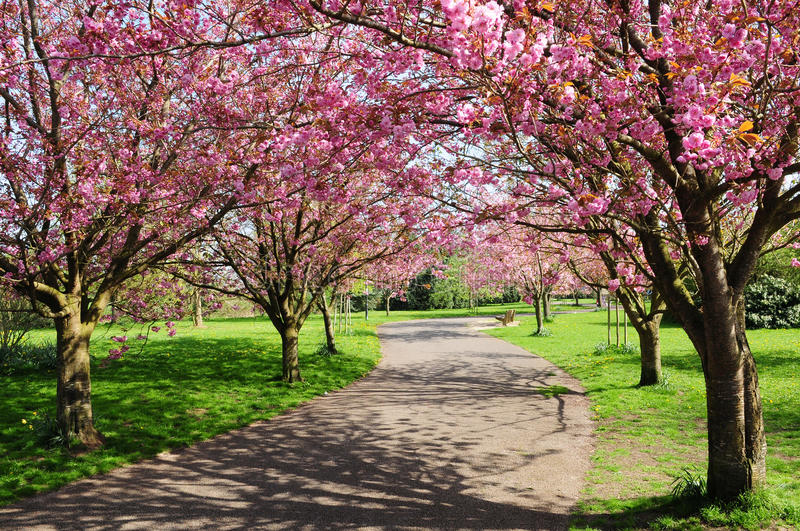 Download Cherry Tree Path stock photo. Image of blooming, alleyway - 25219806